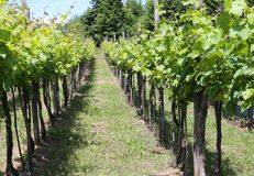 Vineyards in the Italian hills at summer Royalty Free Stock Images