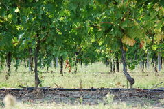 Vineyards italy Royalty Free Stock Images