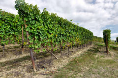 Vineyards in Italy Stock Photography