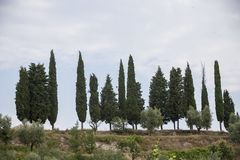 Cypresses on the hill. Vineyards in Italy, with cypresses and some olive trees royalty free stock photography