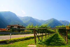 Vineyards in Italy. Landscape, nature Stock Images