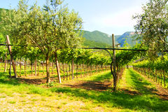 Vineyards in Italy. Landscape, nature Royalty Free Stock Images
