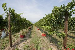Vineyards in Italy. With during harvest, perspective of trees royalty free stock images