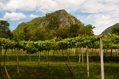 Vineyards in Khao Yai, Thailand. Royalty Free Stock Image