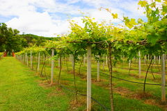 Vineyards in Khao Yai, Thailand. Royalty Free Stock Photo