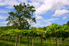 Vineyards in Khao Yai, Thailand. Royalty Free Stock Images