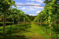 Vineyards in Khao Yai, Thailand. Stock Image