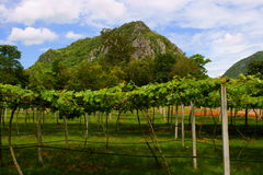 Vineyards in Khao Yai, Thailand. Royalty Free Stock Photography