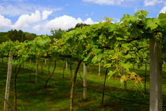 Vineyards in Khao Yai, Thailand. Stock Photography