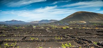Vineyards in  La Geria Royalty Free Stock Photo