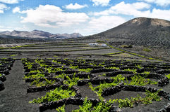 Vineyards in La Geria, Lanzarote, Spain. Royalty Free Stock Photos