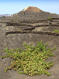 Vineyards in La Geria region, Lanzarote Royalty Free Stock Photos