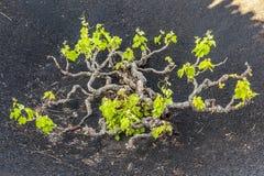 Vineyards of La Geria on volcanic soil Stock Image