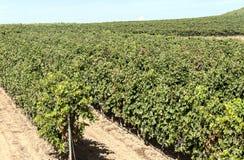 Vineyards in La Rioja Royalty Free Stock Image