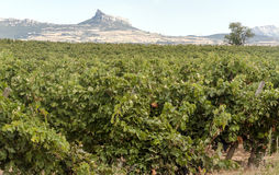 Vineyards in La Rioja. Vineyards in the Spanish province of La Rioja on a sunny day royalty free stock image