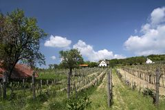 Vineyards at Lake Balaton Stock Image