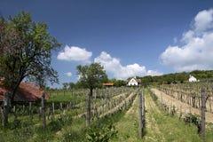 Vineyards at Lake Balaton. Vineyards in Spring time near Aszofoe at Lake Balaton, Hungary stock image