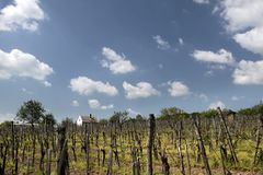 Vineyards at Lake Balaton Stock Photo