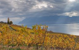 Vineyards and lake Leman 1. Golden grape vines. Beautiful view on the vineyards, Lavaux region, cloudy sky scape, part of Alps and lake Leman on the background Royalty Free Stock Photos