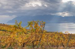 Vineyards and lake Leman Stock Image