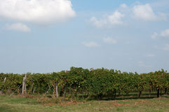 Vineyards of Lambrusco , a typical Italian grape ready to be har Royalty Free Stock Images