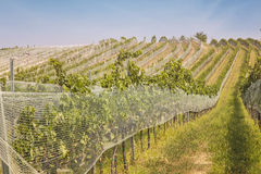 Vineyards landscape. With bird protection net in Burgenland, Austria royalty free stock photo