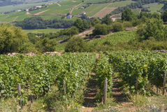 Vineyards, Landscape of burgundy Stock Images
