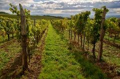 Vineyards landscape. Panorama lines pattern stock image