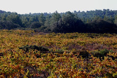Vineyards landscape Royalty Free Stock Photos