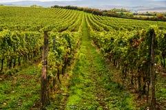 Vineyards landscape. Panorama lines pattern royalty free stock image
