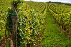 Vineyards landscape. Panorama lines pattern royalty free stock photos