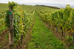 Vineyards landscape. Panorama lines pattern royalty free stock images