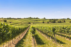 Vineyards landscape in Wachau. Austria Royalty Free Stock Image