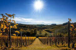 Vineyards of Langhe Piedmont, Italy in autumn. With clear sky and bright sun Royalty Free Stock Photo