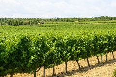 Vineyards in Languedoc-Roussillon Stock Photography