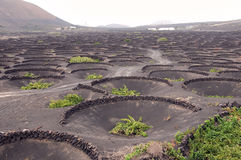 Vineyards on Lanzarote royalty free stock photography