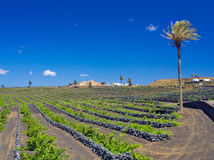 Vineyards of Lanzarote. Good Malvasia wines are growing protected by lava volcanic stone walls against the winds Stock Photos