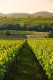 Vineyards in later afternoon light, Pfalz, Germany Royalty Free Stock Photography