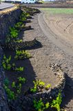 Vineyards with lava fields and volcanoes in background in La Geria stock photo