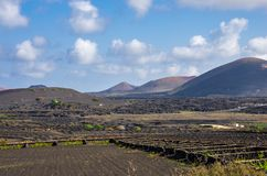 Vineyards with lava fields and volcanoes in background in La Geria royalty free stock image