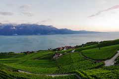 Vineyards In Lavaux in Summer Royalty Free Stock Photos