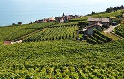 Vineyards in Lavaux against Geneva lake, Switzerland Royalty Free Stock Photo