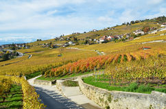 Vineyards in Lavaux region Royalty Free Stock Image