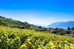 Vineyards in Lavaux region - Terrasses de Lavaux terraces, Switz Stock Photography