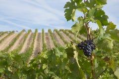 Vineyards. In Los Arcos, Navarre Stock Image