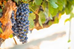 Vineyards with Lush, Ripe Wine Grapes on the Vine Ready for Harvest Stock Images