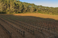 The vineyards: the main and essential base of wine stock photo