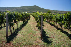 Vineyards in Medjugorie Royalty Free Stock Photography