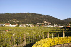 Vineyards in the Minho Region, Portugal Stock Images