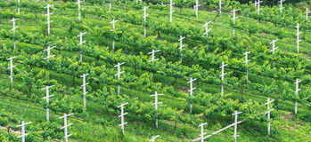 Vineyards, Minimal Tillage Practice in Bird's Eye View. Evergreen View Stock Photos